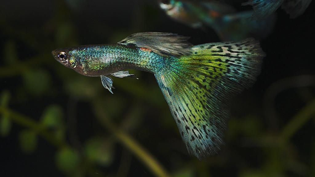 Cá Bảy Màu Green Moscow Với Gene Grass 7colorsgv